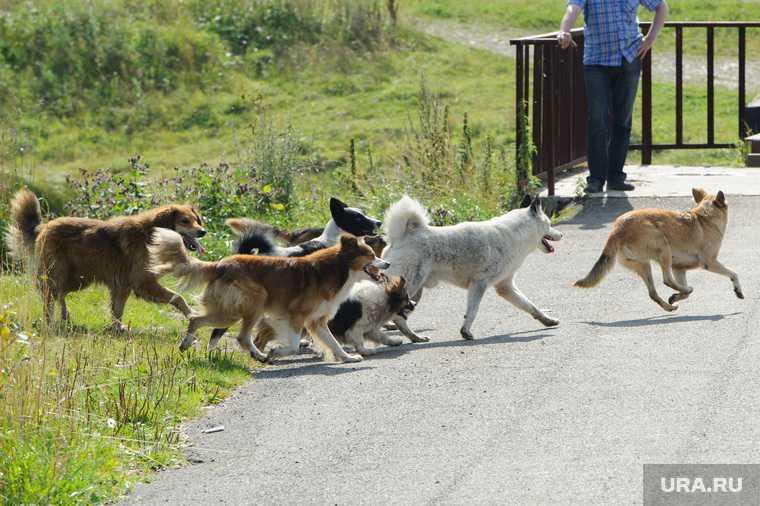 В Ноябрьске на восемнадцатилетнего инвалида напала стая диких собак
